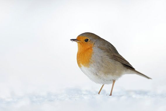 Robin Redbreast ( Erithacus rubecula ) sitting in snow on the ground