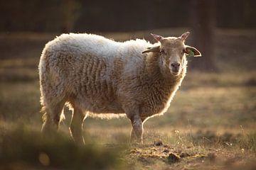 Mouton solitaire au coucher du soleil sur Steven Marinus
