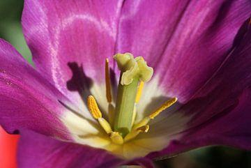 Tulpenblüte von Norman Krauß