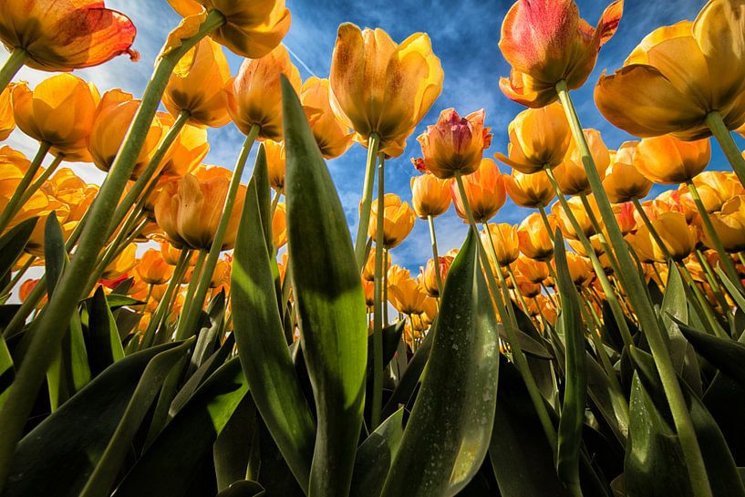 Gele - oranje tulpen kikvorsperspectief van Marjolijn van den Berg