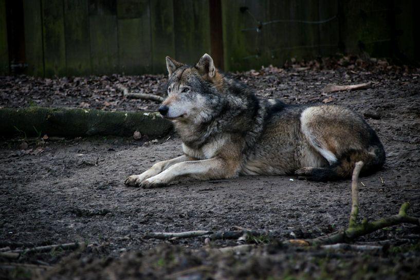 Liggende wolf von Abi Waren