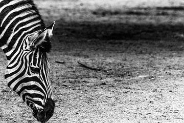 Zebra von Jeffrey Tukker