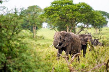 Elefanten in der grünen Landschaft Afrikas / Naturfotografie / Uganda von Jikke Patist