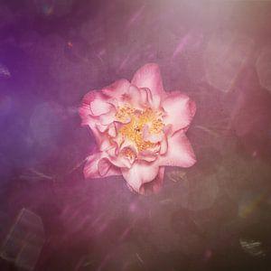perfect roze van
