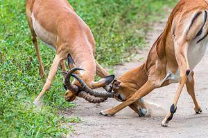 Vechtende Impala's