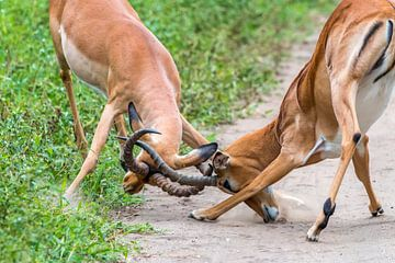 Fighting Impala sur