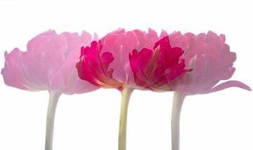 Tulipes en trois exemplaires sur Ida Muller