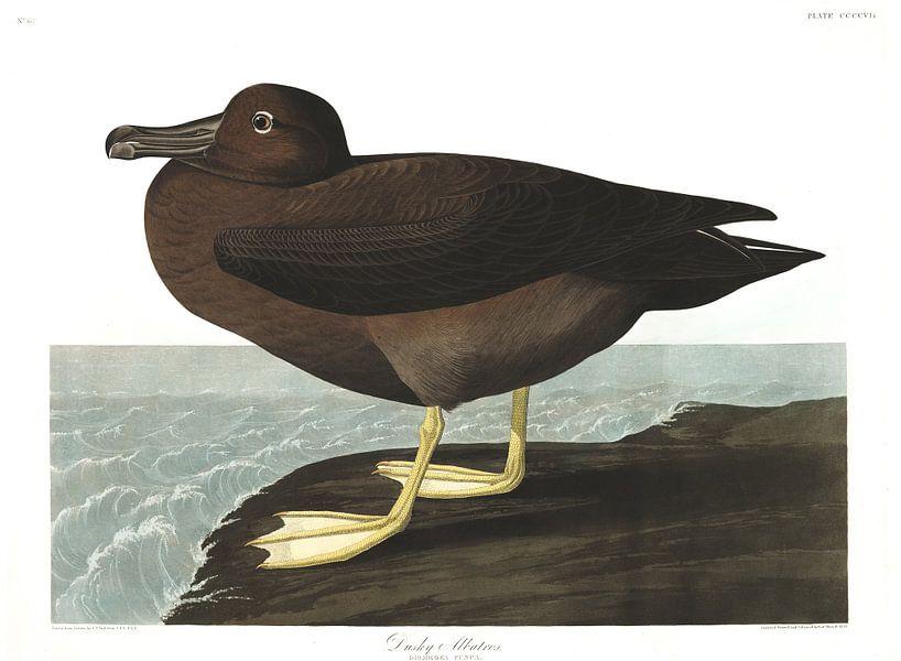 Albatrossen van Birds of America