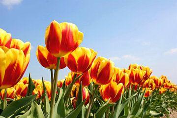 Landschap van Tulpen in Holland