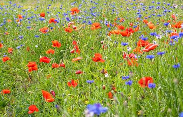 Veldbloemen op Texel / Field flowers on Texel van