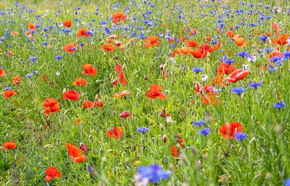 Veldbloemen op Texel / Field flowers on Texel