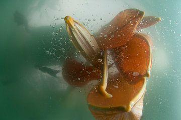 Kroeskoppelikaan vissend van