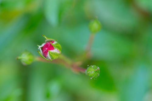 Rode rozen in knop van Peter Apers