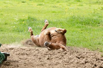 Eine Rolle macht das Pferd hier auf der Weite.  von Harald Schottner
