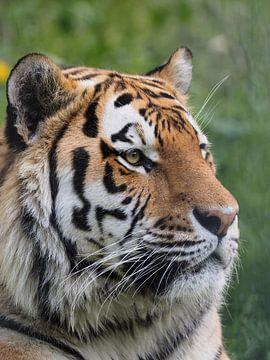 Amur Tijger of Siberische Tijger : Ouwehands DIerenpark van Loek Lobel