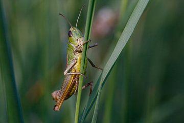 grasshopper van Erich Werner