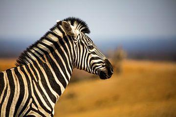 Zebra Portrait von Thomas Froemmel