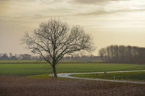Groningse boom van
