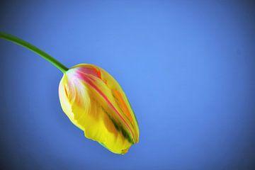 Tulpe von Marieke Peters-Brugmans