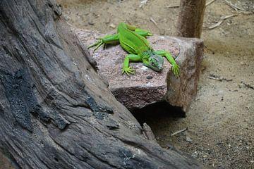 Groene varaan green van Bart Cornelis de Groot