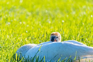 Eine Schwanenfamilie ruht auf einem gemähten Feld, die beiden Eltern kümmern sich um ihre Kleinen, d von Matthias Korn