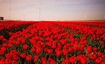 Tulpen in Holland van René Holtslag