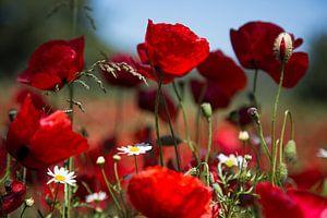 Bloemen   Klaprozen Griekenland 1 van