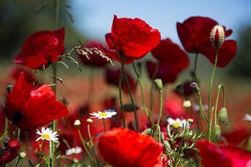 Blumen und Pflanzen | Mohnblumen Griechenland 1 von Servan Ott
