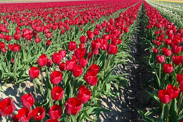 rode tulpenvelden van Angelique Rademakers