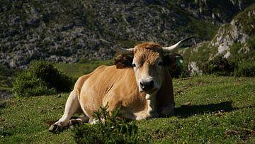 Koe bij Covadonga van Erik van Geer