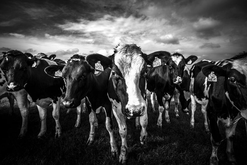 black and white cows van SchippersFotografie