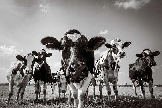 Koeien in de wei in de zomer in zwart wit