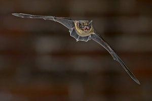 Zwergenfledermaus im Flug