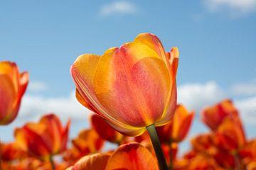 Tulpe orange rot gelb von Henriette Tischler van Sleen