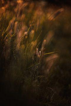Grasspieße im warmen Abendlicht. von Holly Klein Oonk