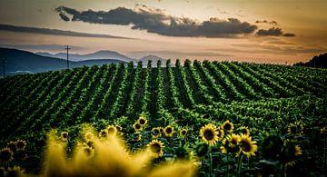 Wijngaarden van Frans Scherpenisse