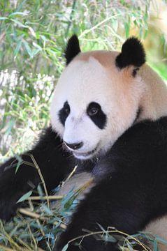Panda Xing Ya Teil 6 Panda Bär von Diana Edwards