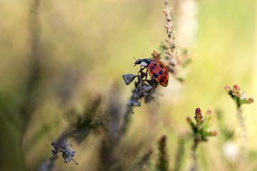 Lieveheersbeestje op de heide van Angelique Koops