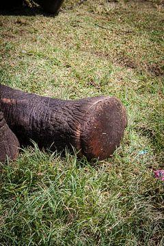 olifantenpoot, Sri Lanka. von Rony Coevoet