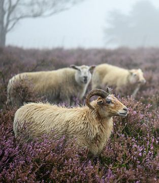 drei Schafe auf der veluwe von Tania Perneel