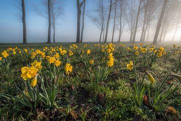 Narcissen met prachtige bomen van Moetwil en van Dijk - Fotografie