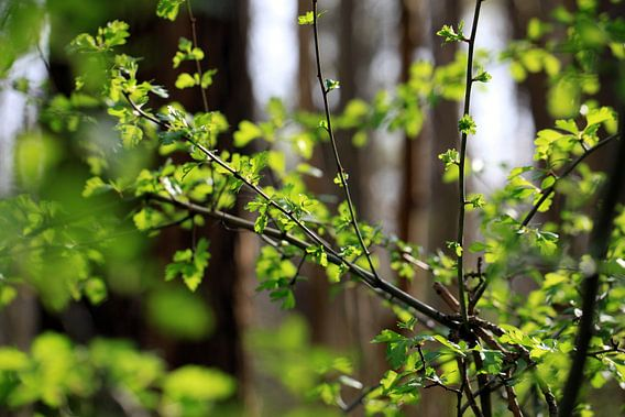 Frühlingswald van Renate Knapp