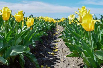 Veld met gele tulpen van Kim de Been