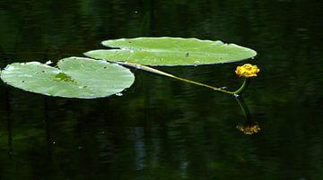 Waterlelie sur Wim Heirbaut