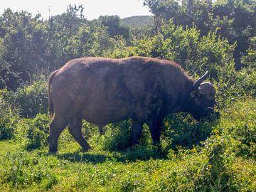 Grazende buffel van Robin van Tilborg