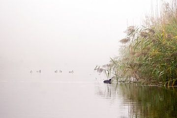 meerkoet op het water van Ilja Kalle