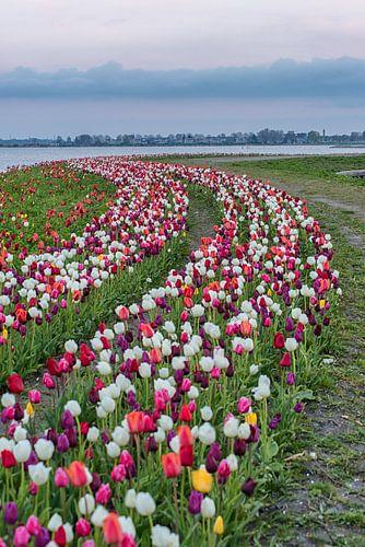 Tulpen veld in een bocht