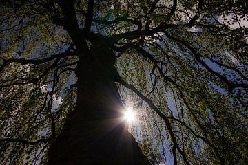 Sonnenlicht durch die Baumzweige von Cees van Gastel