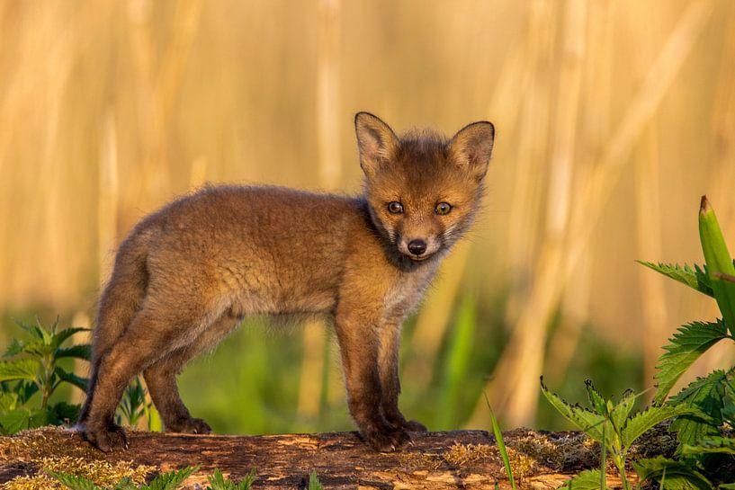Un jeune renard le matin sur Fotografie Ronald