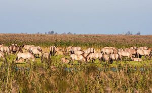 Wild horses in the Flevopolder in the Netherlands